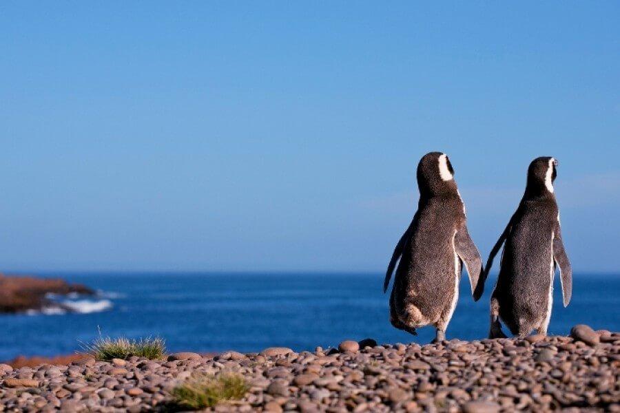 Penguins At Punta Tombo