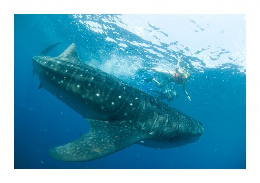 Whale Shark or Sailfish