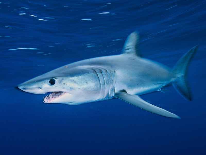 7 Days - Mako Shark Dive