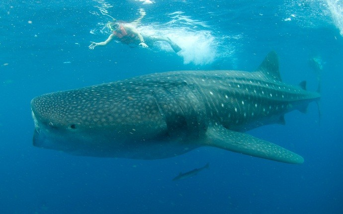 7 Days - Whale Shark Tour