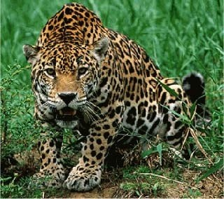 7 Days - Jaguar Scientific Tour Mexico