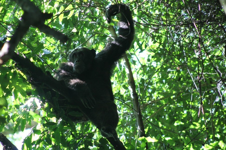 5 Days Gorilla and Chimpanzee trekking tour in Uganda
