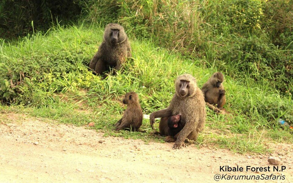 Primates in Uganda safari - 10 days