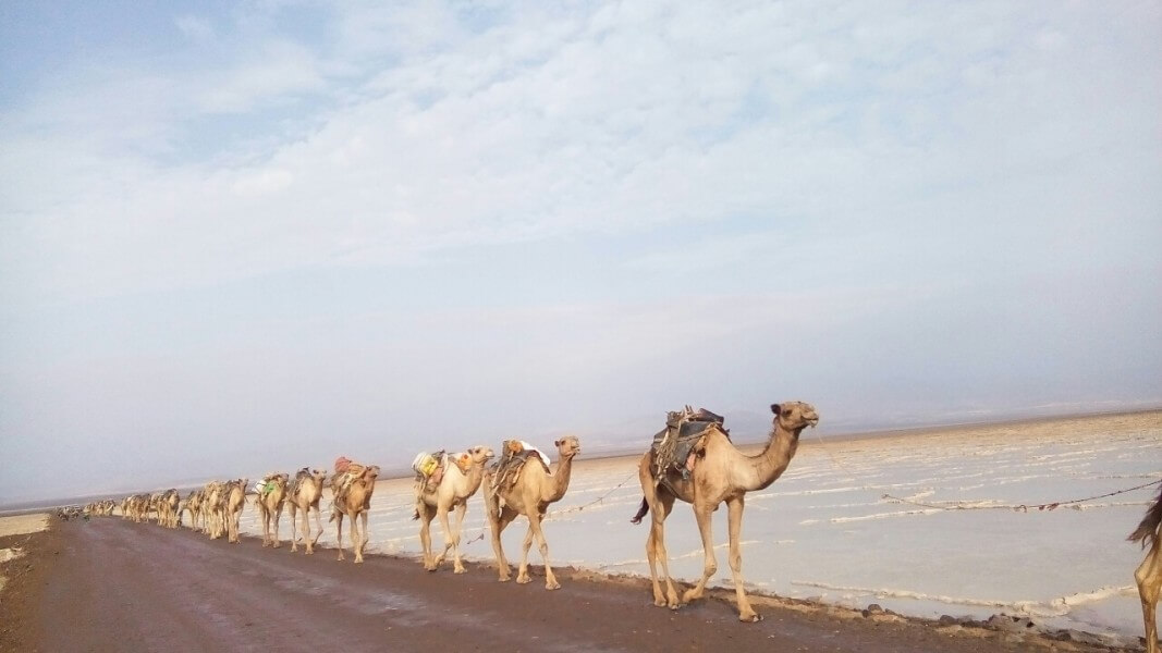 Dallol and  Camel Caravan