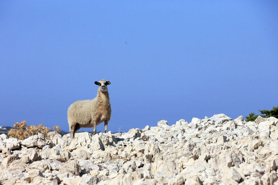 Island Pag - lamb and cheese