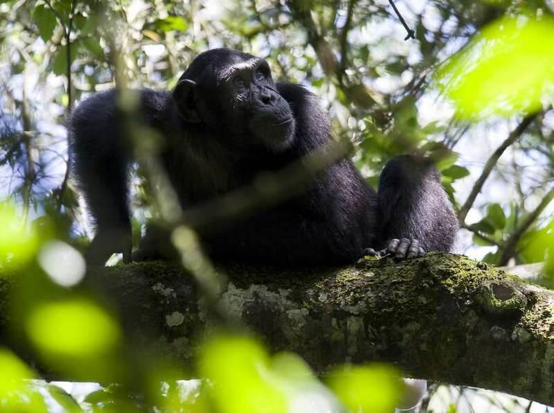 Chimpanzee Habituation Exper
