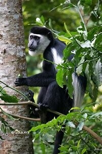 Chimpanzee Habituation Exper