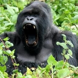 Gorilla Habituation experien