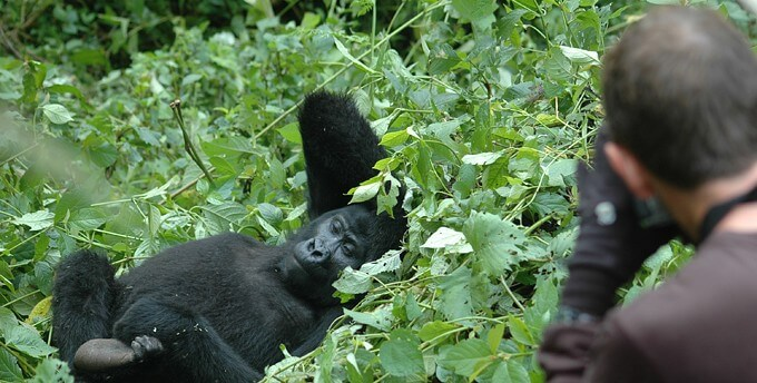 Gorilla Habituation experien