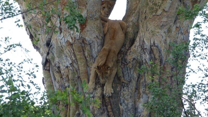 5 Days Gorilla trekking and Wildlife Safari in Uganda