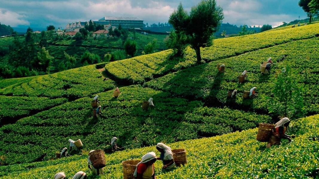 TEA PLANTATIONS WATER FALLS