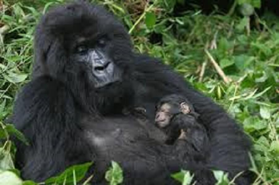 6 DAY DOUBLE GORILLA TREK AND LAKE KIVU