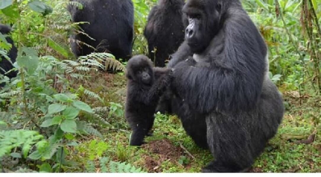 4 DAYS EPIC GORILLA SAFARI