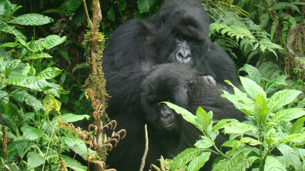 Big Game & Mountain Gorillas