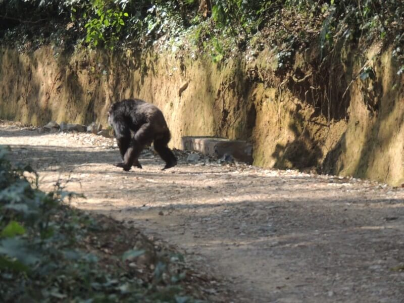 Hop from tree to tree with the Primates of Nyungwe Rainforest, Rwanda