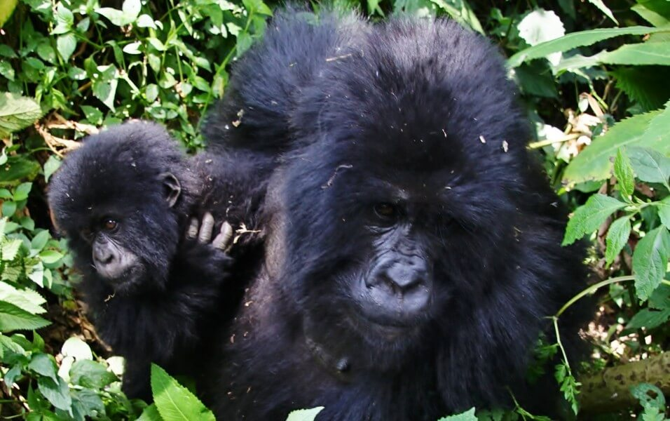 THE PRIMATES OF RWANDA & UGANDA