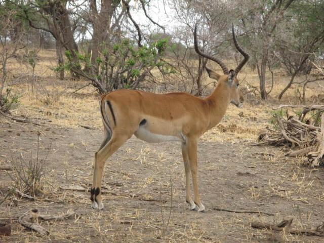 Serengeti, game drive - Day