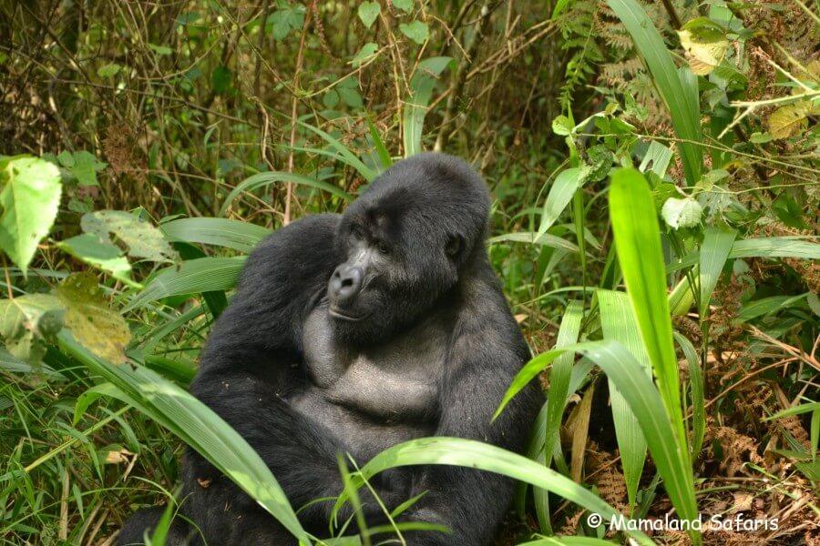 Gorilla trekking day