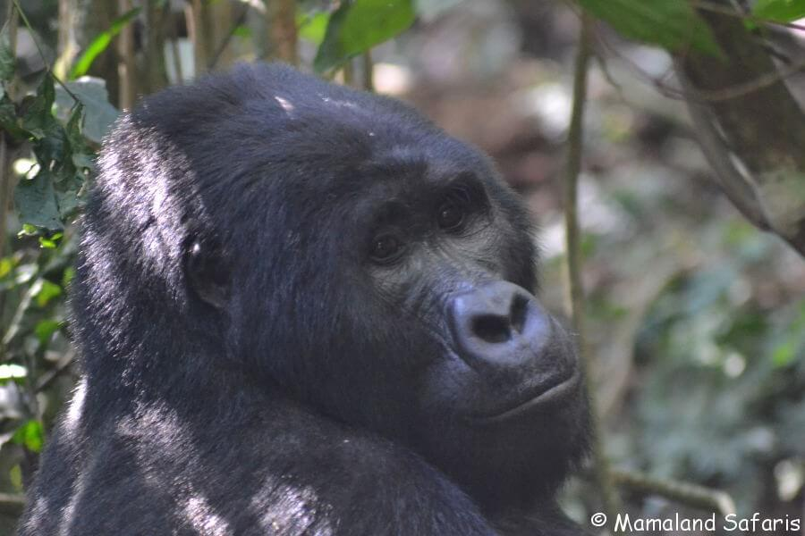 Gorillas of Uganda - trekking mountian gorillas