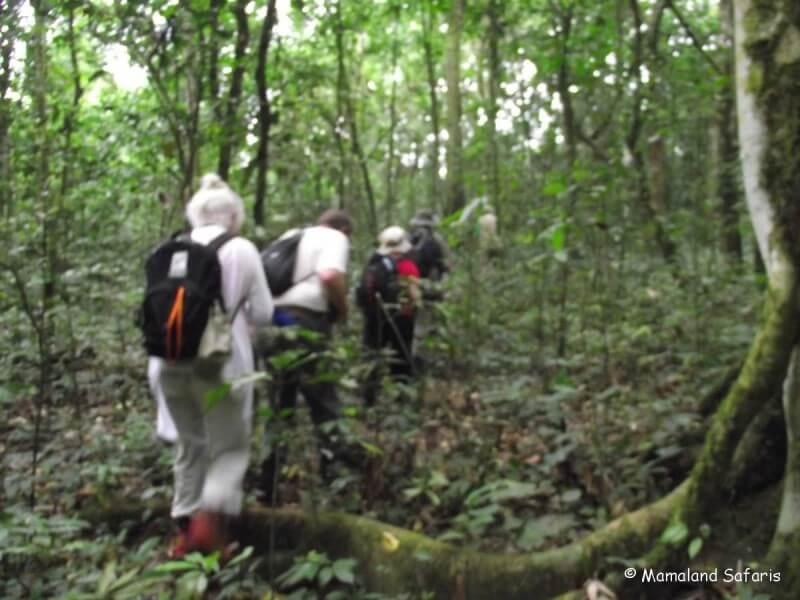 Chimps trek Kibale Forest