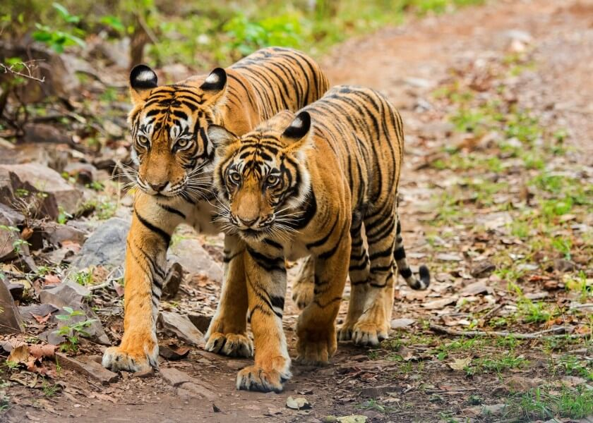 13 DAYS TEMPLES AND TIGERS OF NORTH INDIA