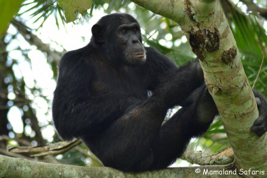 Primates & savanna - Uganda Safari