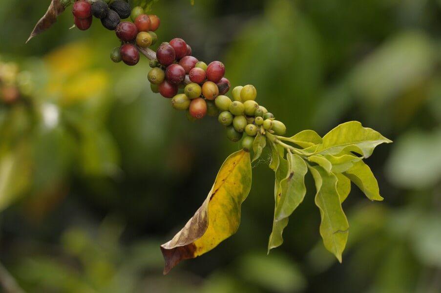 Canyon and Coffee Farm