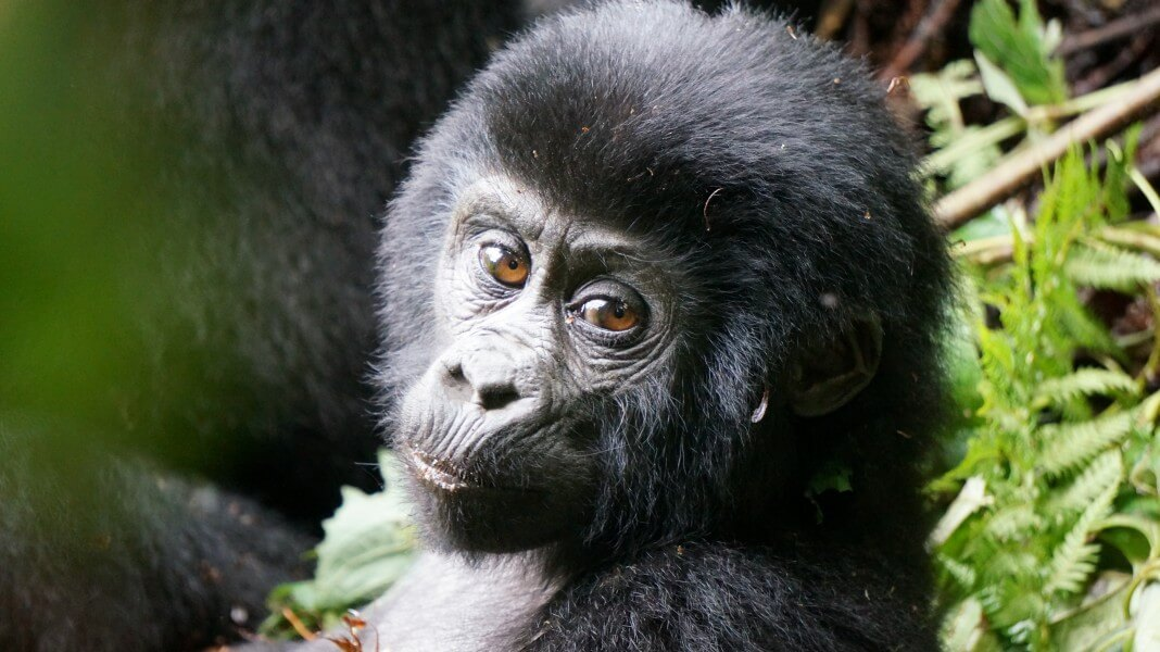 6 Days-Gorillas and Safari on a Budget