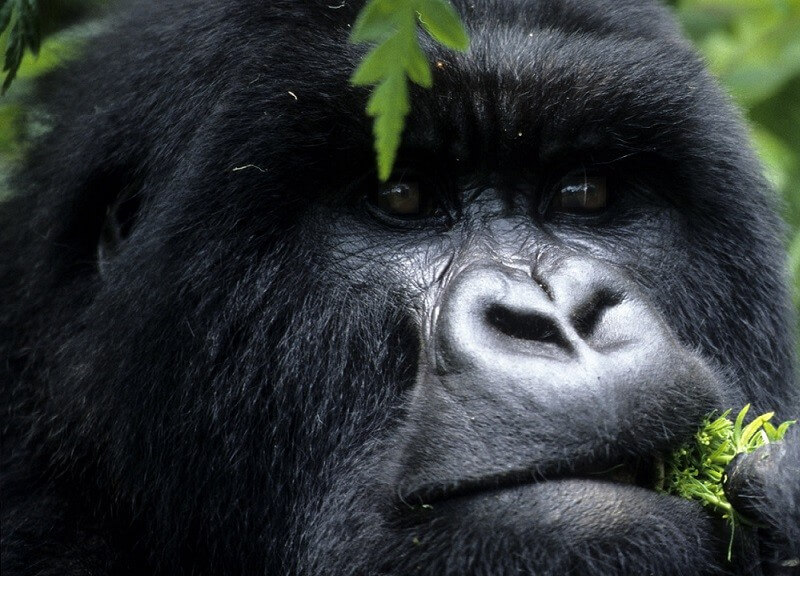 5 DAY GORILLA & WILDLIFE SAFARI