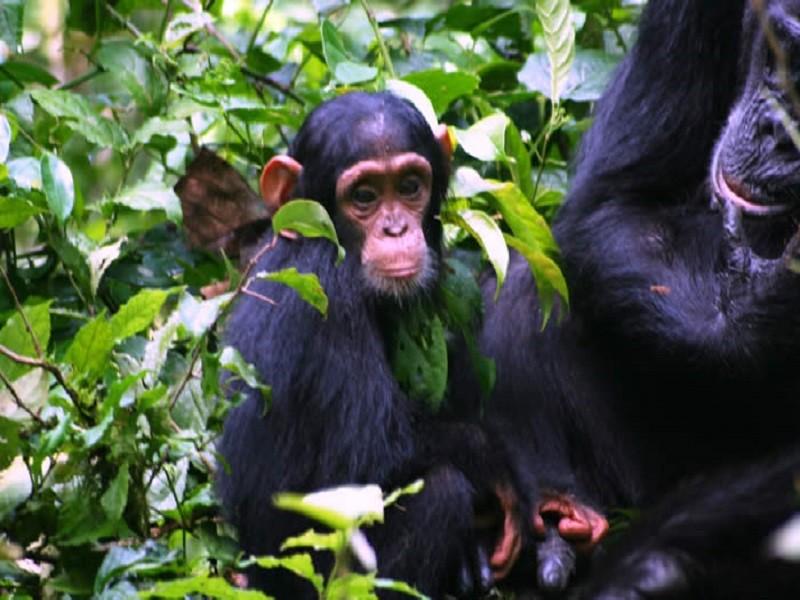 Chimpanzee Adventure 5 Days Safari