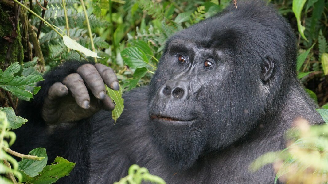 5 Days - Whistle-Stop Tour to see the Gorillas