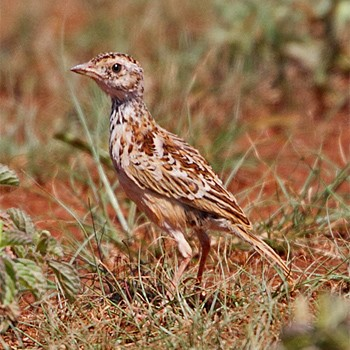 Ethiopian Bird watching tour