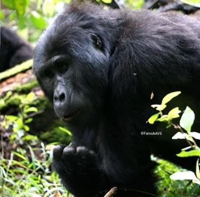 4 Days Gorilla safari