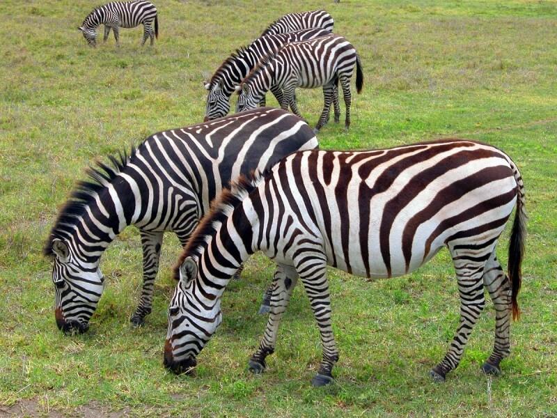 Simba Safari
