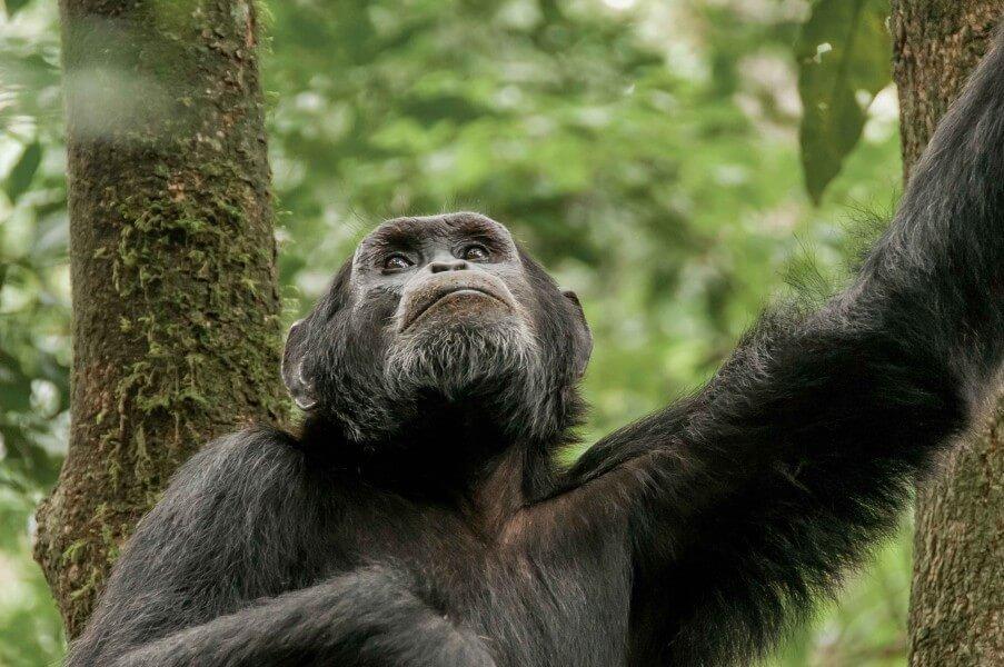 7 Days Uganda Gorilla Trek, Wildlife Adventure and Chimpanzee Tracking