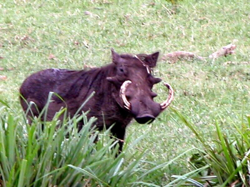 Swala Safari