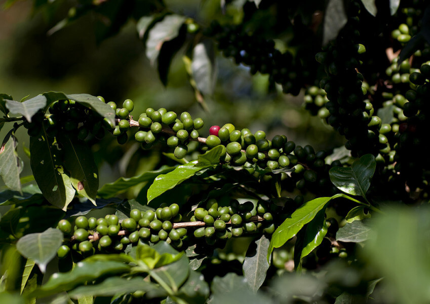 Visit coffee plantation