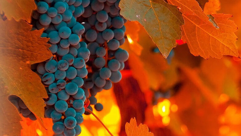 Routes and Flavours of Syrah