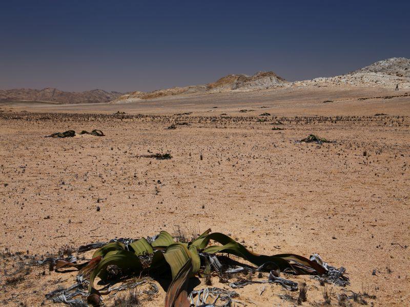 Swakopmund - Welwitschia -Skeleton Coast