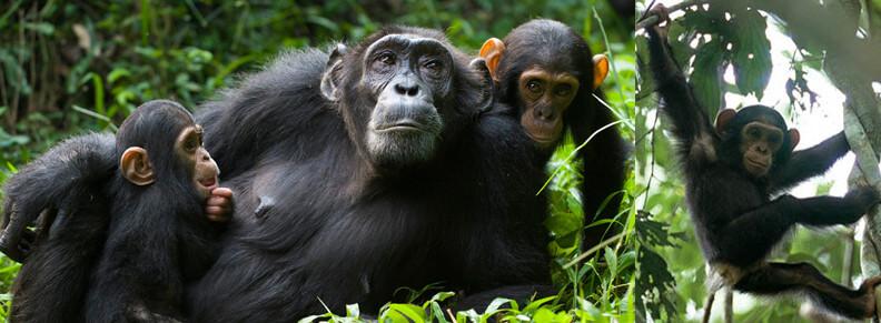 Chimp trekking and Transfer to Lake Mbur