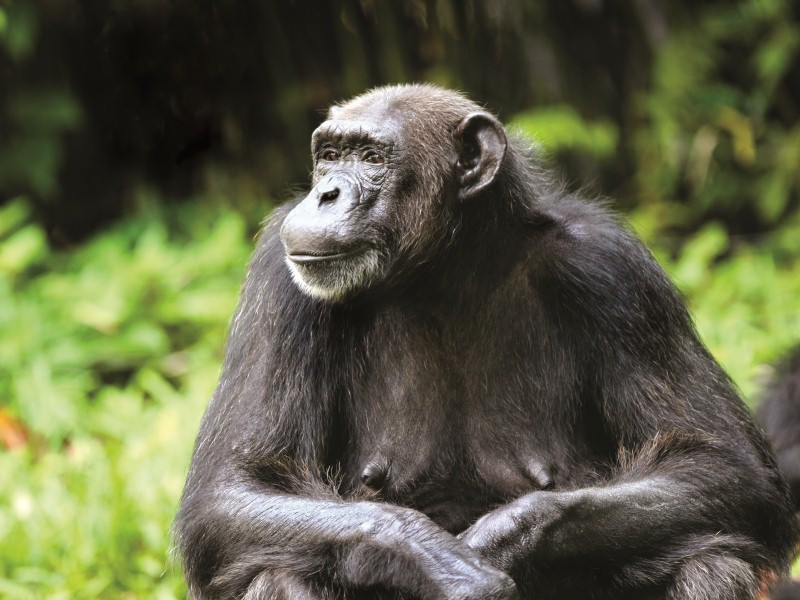 7-DAY CULTURE AND CHIMPANZEE