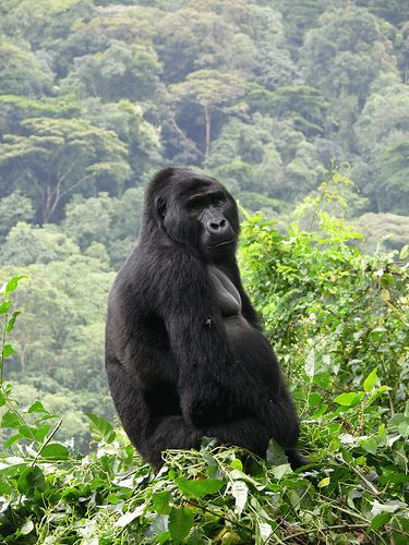 9 Days Great Apes & Batwa Pygmies Experience