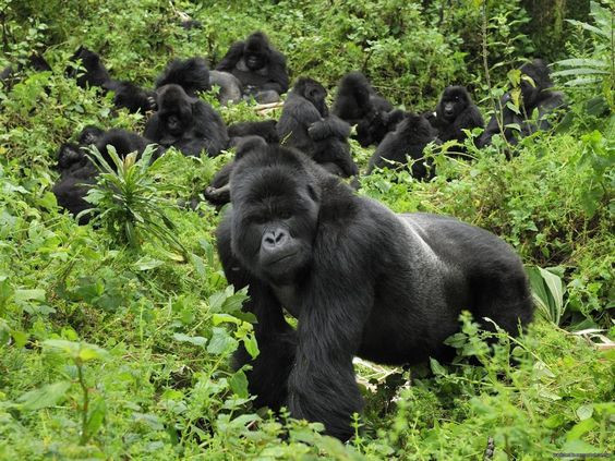 Gorilla tracking & transfer to Chameleon