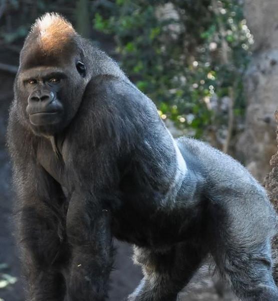 9 Days X2 Gorilla Safari