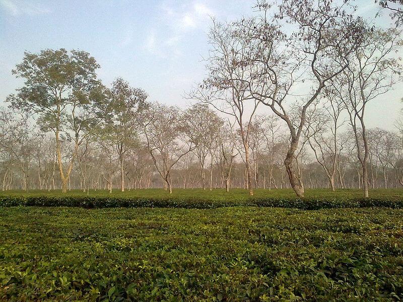 Bishwanath Ghat/ Sail to Silghat/ Tea Es