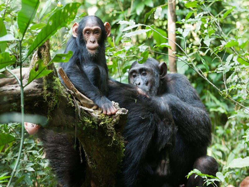 10 Days Uganda Gorilla and Chimpanzee Highlight