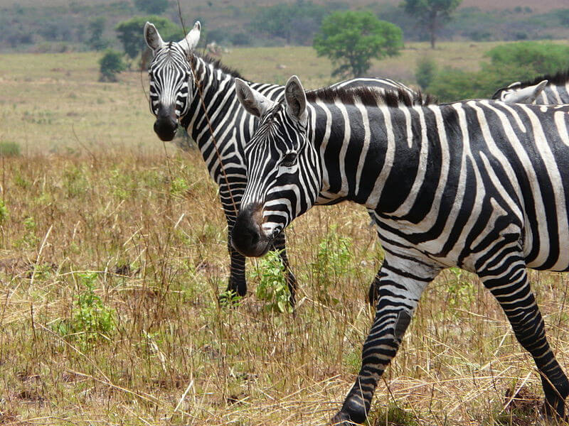 6 Days Kidepo National Park Safari