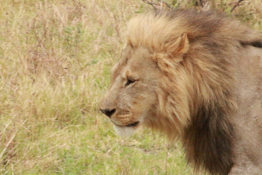Lion Safari Trail - 17 Days