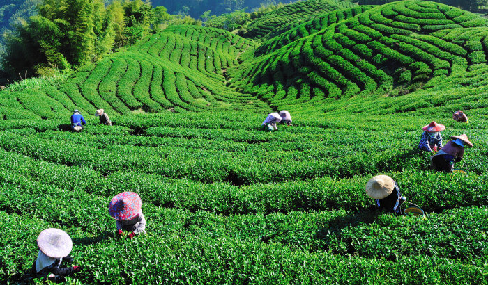 The Tea Route