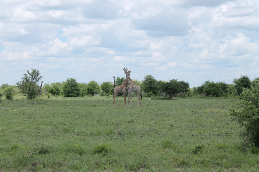 Giraffe Safari Trail- 12 Days